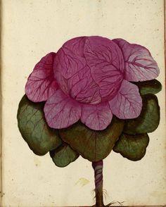 Botanical – Cabbage – Pink – Italian | Vintage Printable at ...