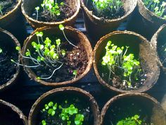 Seed Sprouting Mishaps (*Or: Hey, Want Some Basil? Seed Starting, Earth Day, Sprouts, Basil, Succulents, Seeds, Canning, Plants, Gardening