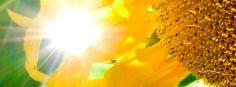 Sunflower facebook cover