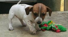 Mini Dacshund Pups Purebred @Charlotte Gurwell