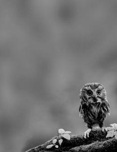 Owl. ☚