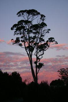 54 Super Ideas for gum tree photography nature Australian Plants, Australian Bush, Tree Photography, Landscape Photography, Tree Stencil, Stencils, Forest Mural, Skier, Eucalyptus Tree