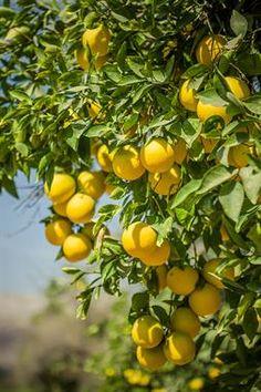 Acabo de compartir la foto de Milton Cesar Rodriguez Triviños que representa a: Naranjas de Palpa