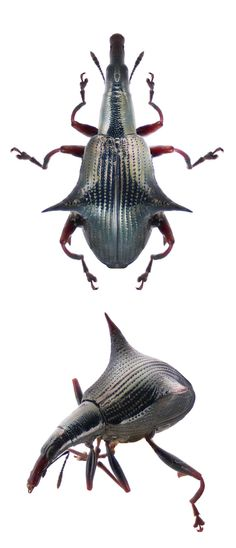Amylopterus prasinus - CURCULIONIDAE