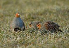 Winter-Grey-Partridge-2.jpg (1150×800)