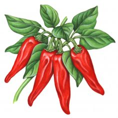 Realistic botanical illustration of four red paprika peppers on a branch with leaves.