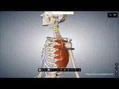 Mm. intercostales externi und interni - YouTube