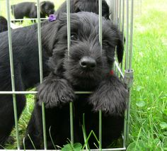 Black Standard Schnauzer pup.. Oh   My  Goodness!  This takes me back so completely to the day we met our George for the first time.