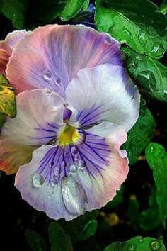 You don't often see pink in a pansy, particularly this soft shade
