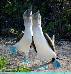 blue-footed booby | Blue Footed Booby Dance