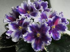 African Violet ~~ VAT-TSAR GOROH ~~ plant  NEW Russian / Ukrainian Variety!