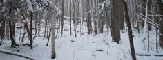 Winter-forest-900x339.png (900×339)