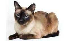 """Résultat de recherche d'images pour """"chat siamois"""""""