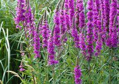 kattenstaart vaste plant vlinderplant, vermeerderen door te delen  0,5-1 m hoog, niet wintergroen