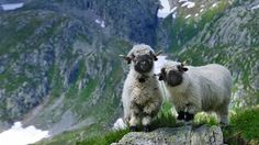 Valais Blacknose sheep in Valais, Switzerland (© NaturePL/SuperStock) – 2014-09-07
