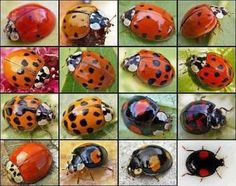 Natural Pest Control With Ladybugs--Beneficial garden ladybugs for controlling pests in your garden are the most popular and widely used beneficial insects for commercial and home use. Beneficial Insects, Beautiful Bugs, Beautiful Pictures, Bugs And Insects, Garden Pests, Garden Bugs, Garden Insects, Fauna, Beautiful Creatures