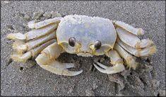 Bilderesultat for sand crab shell top