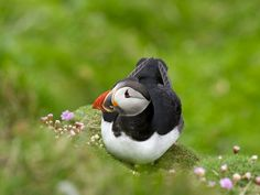 Atlantic puffin (Iceland)