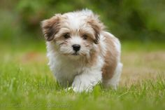 Havanese Dog Breed Information - Tiere - Dogs Bichon Havanais, Havanese Puppies, Tiny Puppies, Cute Puppies, Maltipoo, Puppies Tips, Cute Baby Animals, Animals And Pets, Dog Cat