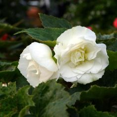 05/2014; White tuberous Begonia.  Planted in a large planter in my driveway.