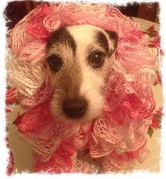 Caught my Jack Russell wearing my new Christmas scarf....she thinks pink is her color.