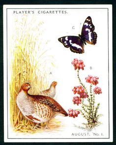 """Player's Cigarettes  """"A Nature Calendar"""" (series of 24 large cards issued in 1930) #15 August (1)"""