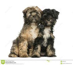 Tibetan Terrier one of my favorite kind of dogs