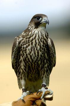 Falke, Gerfalke-Sakerfalke, Falke Hybrid, Falco hybrid, falcon, Greifvogel, Raubvogel, Beute, Europa, Deutschland To buy this picture please visit www.3aART.de Zum Erwerb dieses Bildes besuchen sie bitte unsere Hompage www.3aART.de