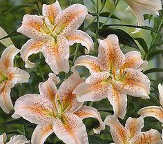 Robertas 34-Piece Lily Garden