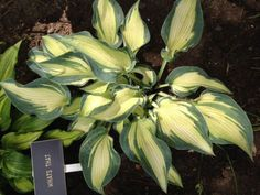 Hosta 'What's That'