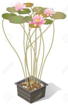 093d8297838d52454dacfb042ce476cf--botanical-drawings-water-lilies.jpg (236×361)
