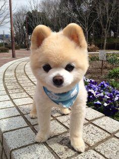 Pomeranian teacup teddy bear cut