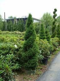 Alberta Spruce Topiary- front corner bed