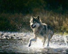 imagenes lobos