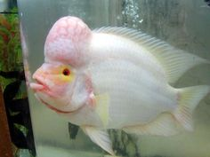 NYCichlids.net • View topic - Albino Cichlids with color?