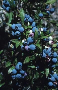 to Plant a Blueberry Bush for Cross-Pollination Blueberries: Cross-pollination of blueberries yields larger and more bountiful fruit.Blueberries: Cross-pollination of blueberries yields larger and more bountiful fruit. Planting Blueberry Bushes, Blueberry Plant, Strawberry Planting, Blueberry Picking, Blueberry Recipes, Fruit Garden, Edible Garden, Gardens, Vegetable Gardening