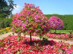 Petunia trees!