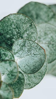 Download premium image of Eucalyptus round leaves mobile wallpaper 2259879