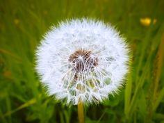 Dandelion by Felikss Veilands on
