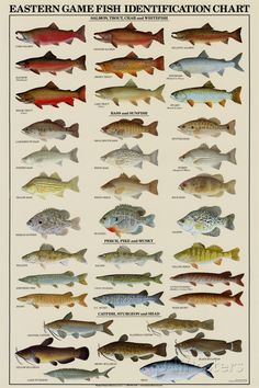 Mexico reef fish field guide baja sea of cortez reef fish the common fresh water game fish of the east are featured in this eastern game fish poster includes 37 species of fish trout bass perch and many more sciox Gallery