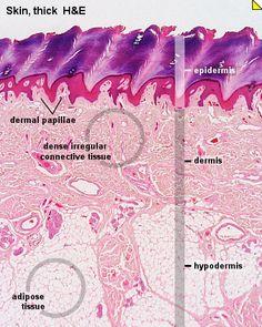 Detailed skin/adnexa histology site