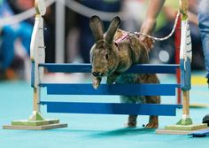 Rabbit Showjumping at an Animal Fair in Stuttgart , http://itcolossal.com/rabbit-showjumping/  Check more at http://itcolossal.com/rabbit-showjumping/