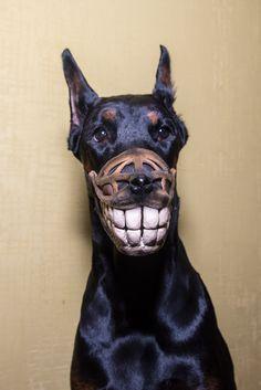 Funny Smiling muzzle for dog Doberman Pit Bull German Shepard Bull Terrier Pinscher Husky funny dog accessory - Smiling dog dobermann USD) by WufWufStore Doberman Funny, Doberman Dogs, Dachshunds, Doberman Pinscher Puppy, Dog Muzzle, Dog Nose, Best Dog Training, Agility Training, Dog Agility