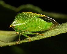 Adult Treehopper at Blackwell Forest Preserve - has THREE wings
