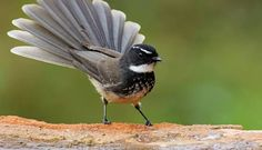 White-spotted or Spot-breasted Fantail (Rhipidura albicollis) is a small passerine bird. It is found in forest, scrub and cultivation across tropical southern Asia from the Himalayas, India and Bangladesh east to Indonesia. World Birds, Australian Birds, Little Birds, Starling, Pet Birds, Birds 2, Beautiful Birds, Wildlife, Creatures