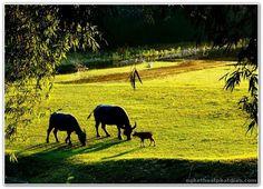 Chùm ảnh: Độc đáo chùm ảnh con trâu quê tôi ảnh 37 Horses, Painting, Animals, Country, Google, Animaux, Rural Area, Painting Art, Horse