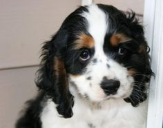 Brown American Cocker Spaniel Puppies | image of cocker spaniel puppy in white and black with brown patterns ...
