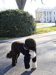 Bo Obama, First Dog