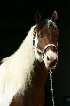 Pinto Horse so pretty!!!!!!!!!!!!!!!!!!!!!(: