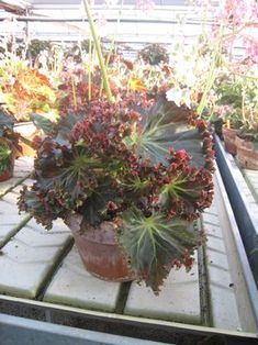 Begonia 'Madame Queen' is a rhizomatous heirloom variety